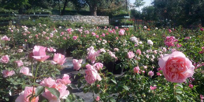 La messa a dimora delle rose