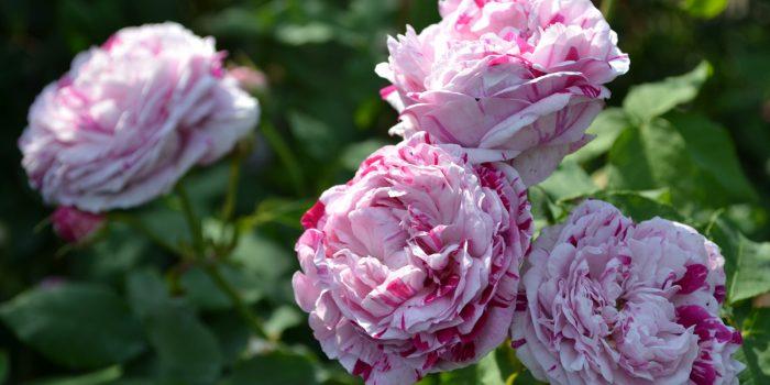 Le rose italiane, una storia di passione e bellezza