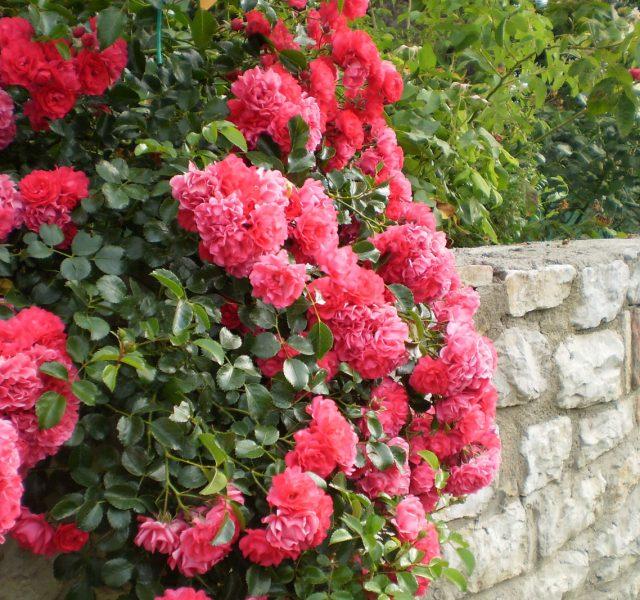 La coltivazione della rosa