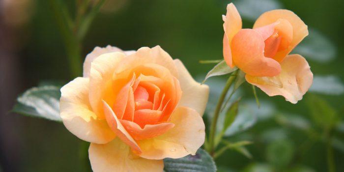 A Rose is a Rose is a Rose. Rose Barni dal 1882