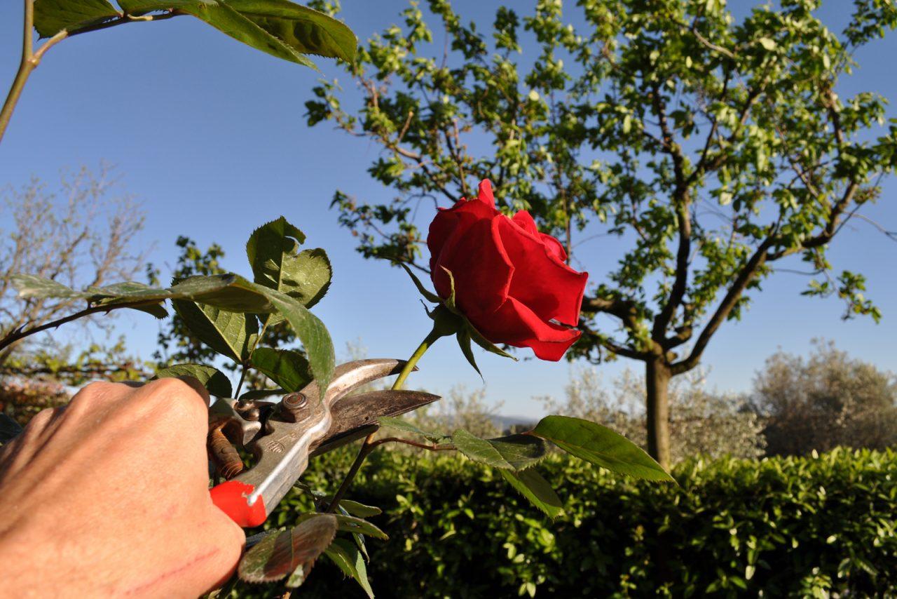 Corsi di coltivazione delle rose
