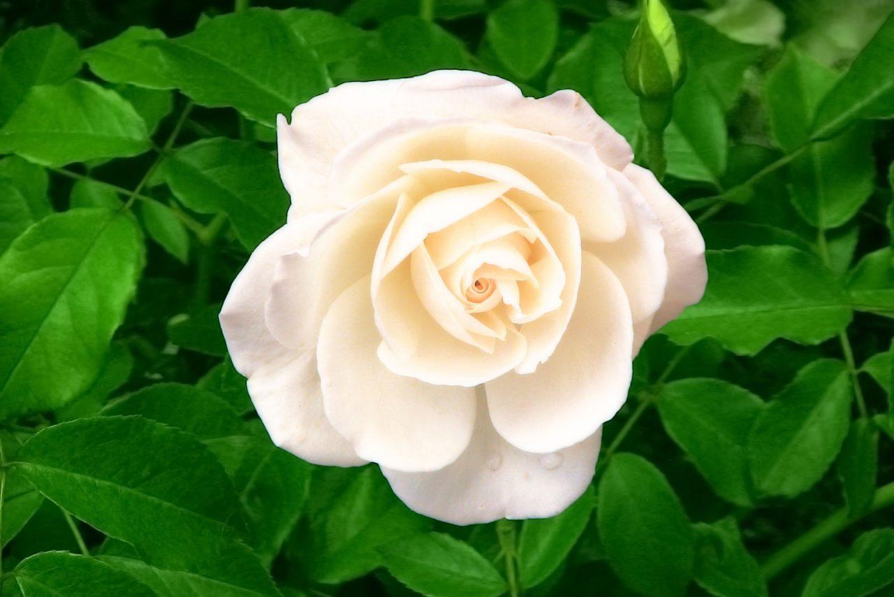 Profumo di rose bianche