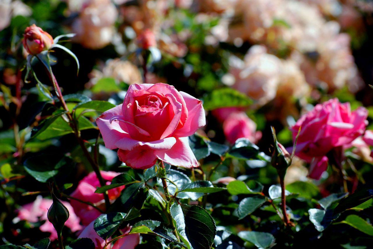 I giorni delle rose sbanca e porta a Spello 30mila visitatori