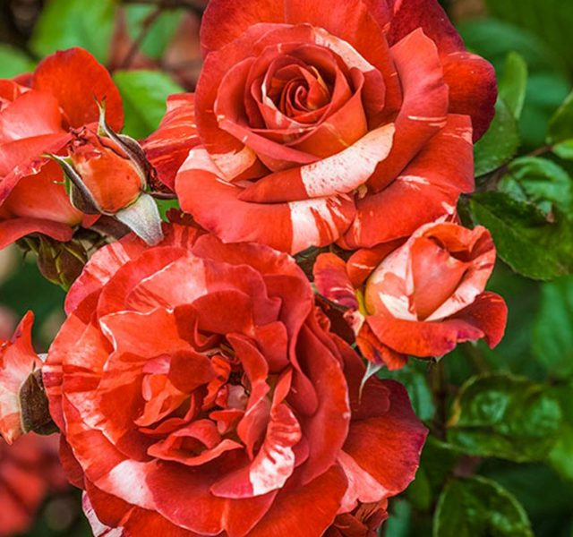 CHIARA E FRANCESCO, due anime in una sola rosa